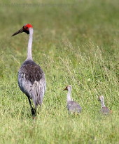 Brolga with chicks, NQ