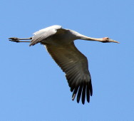 Brolga in flight